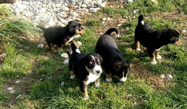 Hunde Welpen spielen in der Wiese