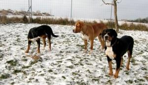 Sennenhunde am Feld