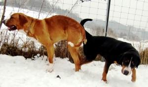 Hunde Paarung