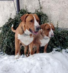 Rassereine Grosse Schweizer Sennenhunde