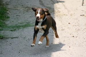 Sennenhund beim Laufen